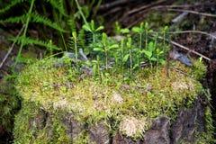 Ένα παλαιό κολόβωμα με τα μικρά δέντρα Στοκ εικόνες με δικαίωμα ελεύθερης χρήσης