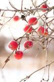 Ένα παλαιό σάπιο μήλο Στοκ φωτογραφίες με δικαίωμα ελεύθερης χρήσης