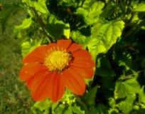 Ένα περίεργο έντομο εσκαρφάλωσε σε ένα λουλούδι Στοκ φωτογραφίες με δικαίωμα ελεύθερης χρήσης