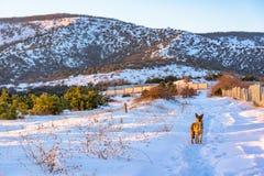 Ένα περίεργο σκυλί στο χιονώδες υπόβαθρο βουνών Ρωσία, Stary Krym Στοκ εικόνες με δικαίωμα ελεύθερης χρήσης