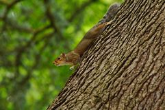 Ένα περίεργο Squirrle ακόμα στο δέντρο Α στοκ φωτογραφίες