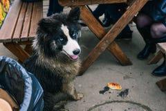 Ένα περιπλανώμενο σκυλί κάθεται κοντά στον πίνακα και ζητά τα τρόφιμα Πεινασμένο σκυλί Μόνο εγκαταλειμμένο ζώο στοκ φωτογραφία