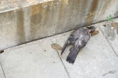 Ένα περιστέρι νεκρό στο έδαφος Στοκ Εικόνες
