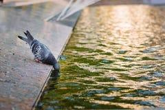 Ένα περιστέρι πίνει το νερό από μια πηγή Στοκ Φωτογραφίες