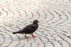 Ένα περιστέρι, πουλί αγριοπερίστερων που περπατά μόνο στο στρωμένο δρόμο στο γ Στοκ Εικόνες