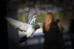 Ένα περιστέρι που πετά πέρα από την αποβάθρα στο Σαν Κλεμέντε Στοκ Εικόνες