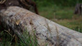 Ένα πεσμένο δέντρο στο δάσος η εστίαση κινείται από το δέντρο προς spikelet απόθεμα βίντεο