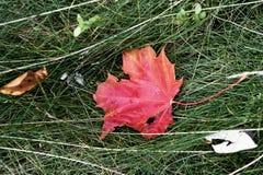 Ένα πεσμένο κόκκινο φύλλο - λεπτομερές χαρακτηριστικό γνώρισμα του φθινοπώρου στοκ φωτογραφία με δικαίωμα ελεύθερης χρήσης