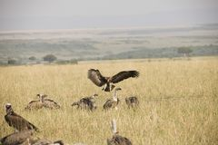 Ένα πετώντας γεράκι για να προσγειωθεί περίπου τέλεια σε μια χλόη στην Αφρική στοκ φωτογραφίες