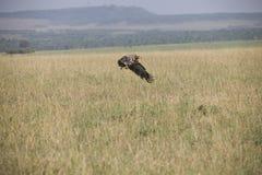 Ένα πετώντας γεράκι για να προσγειωθεί περίπου τέλεια σε μια χλόη στην Αφρική στοκ εικόνες