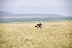 Ένα πετώντας γεράκι για να προσγειωθεί περίπου τέλεια σε μια χλόη στην Αφρική στοκ φωτογραφία με δικαίωμα ελεύθερης χρήσης