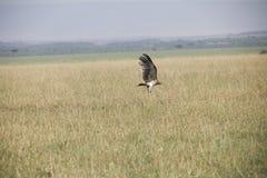 Ένα πετώντας γεράκι για να προσγειωθεί περίπου τέλεια σε μια χλόη στην Αφρική στοκ εικόνα με δικαίωμα ελεύθερης χρήσης
