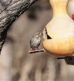 Ένα πεύκο η συνεδρίαση πουλιών σε έναν τροφοδότη κολοκυθών στοκ φωτογραφία με δικαίωμα ελεύθερης χρήσης