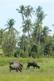 Ένα πλήθος των βούβαλων τρώει τη χλόη κάτω από το δέντρο καρύδων στοκ εικόνες με δικαίωμα ελεύθερης χρήσης