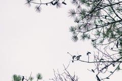 Ένα πλαίσιο των κλάδων δέντρων πεύκων στοκ εικόνες
