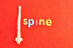 Ένα πλαστικό πρότυπο μιας ανθρώπινης σπονδυλικής στήλης με τη σπονδυλική στήλη λέξης Στοκ Εικόνες