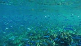 Ένα πολύ μεγάλο κοπάδι των ψαριών κολυμπά σε έναν όμορφο σκόπελο με τα μέρη των κοραλλιών φιλμ μικρού μήκους
