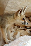 Ένα πορτρέτο αλεπούδων Fennec Στοκ Εικόνες