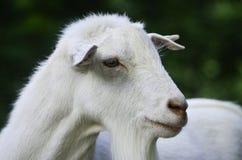 Ένα πορτρέτο ενός ζώου Στοκ Εικόνες