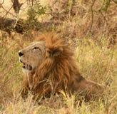 Ένα πορτρέτο ενός λιονταριού Στοκ Εικόνα