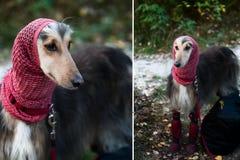 Ένα πορτρέτο ενός σκυλιού, αφγανικό greyhound, diptych Στοκ φωτογραφία με δικαίωμα ελεύθερης χρήσης