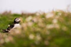 Ένα πορτρέτο ενός puffin που περιβάλλεται από τη βλάστηση Στοκ εικόνα με δικαίωμα ελεύθερης χρήσης
