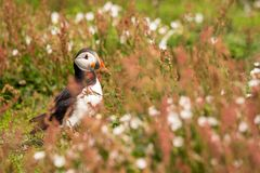 Ένα πορτρέτο ενός puffin που περιβάλλεται από τη βλάστηση Στοκ Εικόνα