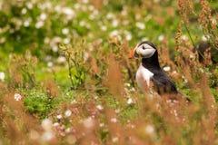 Ένα πορτρέτο ενός puffin που περιβάλλεται από τη βλάστηση Στοκ φωτογραφίες με δικαίωμα ελεύθερης χρήσης