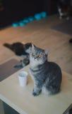 Ένα πορτρέτο μιας γάτας στον καφέ με τη μαλακή ελαφριά και μαλακή εστίαση Χαλαρώστε και ανακουφίστε Στοκ φωτογραφία με δικαίωμα ελεύθερης χρήσης