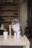 Ένα πορτρέτο μιας γάτας στο δωμάτιο που γεμίζουν με τη μαλακή μαλακή εστίαση φωτός και χρήσης Η εστίαση είναι στα μάτια ενώ WB στ Στοκ Εικόνα