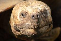Ένα πορτρέτο μιας παλαιάς χελώνας που κοιτάζει αδιάκριτα από ένα κοχύλι Στοκ φωτογραφία με δικαίωμα ελεύθερης χρήσης