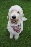 Ένα πορτρέτο σκυλιών Labradoodle Στοκ φωτογραφία με δικαίωμα ελεύθερης χρήσης