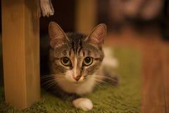 Ένα πορτρέτο της γκρίζας γάτας Στοκ Εικόνες