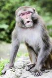 Ένα πορτρέτο του πιθήκου στη ζούγκλα στην Ινδία Στοκ φωτογραφία με δικαίωμα ελεύθερης χρήσης
