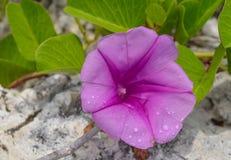 Ένα πορφυρό άγριο λουλούδι στην άκρη της παραλίας Στοκ Φωτογραφία