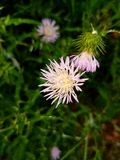 Ένα πορφυρό άγριο λουλούδι Στοκ φωτογραφίες με δικαίωμα ελεύθερης χρήσης