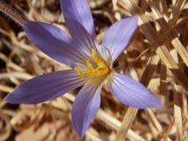 Ένα πορφυρό και κίτρινο λουλούδι Στοκ φωτογραφίες με δικαίωμα ελεύθερης χρήσης