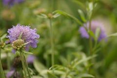 Ένα πορφυρό λουλούδι και bumblebee - μπροστινή άποψη Στοκ Εικόνες