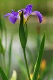 Ένα πορφυρό λουλούδι από τον ποταμό στοκ φωτογραφία με δικαίωμα ελεύθερης χρήσης