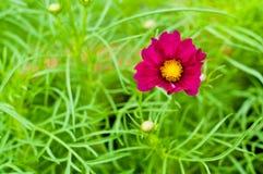 Ένα πορφυρό λουλούδι με το πράσινο υπόβαθρο Στοκ Εικόνες