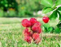 Ένα ποτήρι της φρέσκιας ώριμης κόκκινης φράουλας και η φράουλα Μπους αυξάνονται στον κήπο κορυφαία ποιότητα, έννοια οργανικής τρο Στοκ Εικόνα