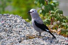 Ένα πουλί καρυοθραύστης Clarks που στέκεται στο αμμοχάλικο στοκ φωτογραφία με δικαίωμα ελεύθερης χρήσης