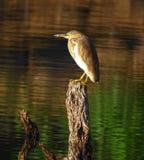 Ένα πουλί πάνω από το ξύλινο κούτσουρο από τις λίμνες στο Κεράλα, Ινδία στοκ φωτογραφία με δικαίωμα ελεύθερης χρήσης