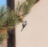 Ένα πουλί τσοπανάκων σε έναν κώνο πεύκων σε ένα δέντρο πεύκων Στοκ Εικόνα