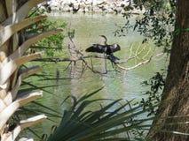 Ένα πουλί φιδιών Anhinga που παρακολουθεί προσεκτικό το νερό Στοκ εικόνες με δικαίωμα ελεύθερης χρήσης