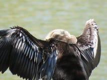 Ένα πουλί φιδιών Anhinga που παρακολουθεί προσεκτικό το νερό Στοκ Φωτογραφίες