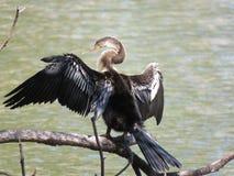 Ένα πουλί φιδιών Anhinga που παρακολουθεί προσεκτικό το νερό Στοκ Εικόνα