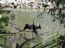 Ένα πουλί φιδιών Anhinga που παρακολουθεί προσεκτικό το νερό Στοκ Φωτογραφία