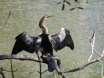 Ένα πουλί φιδιών Anhinga που παρακολουθεί προσεκτικό το νερό Στοκ Εικόνες