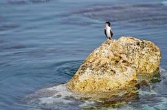 Ένα πουλί Grebe σε έναν βράχο Στοκ φωτογραφία με δικαίωμα ελεύθερης χρήσης